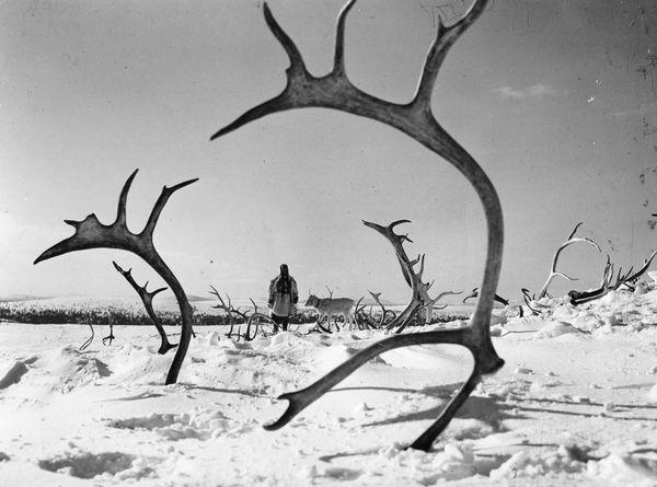 the-white-reindeer.jpg
